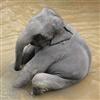 chilling Elephant