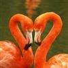 Fla - Fla - Flamingo
