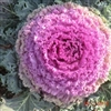 Ornamental Cabbage Plant