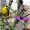 Finch in Thistle