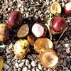 Kastani/Chestnuts