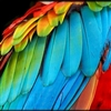 Coloured feather or two