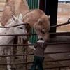 Camel Biter