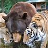 Tigers & Bear
