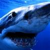 One shark