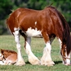 Part of the horse family