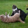 Cat fight Puzzle