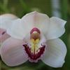 Cymbidium Orchid Puzzle