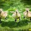 Happy birds Puzzle