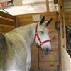 Mule From A Percheron Mare