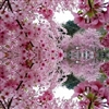 Cherry blossom in full bloom Puzzle