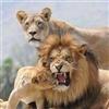 Lions Puzzle