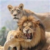 Lions !!