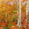 Autumn birch forest Puzzle