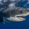 Shark !!