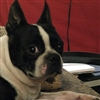Boston Terrier Who Me Puzzle