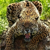 Leopard !!