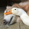 Dog Duck Puzzle