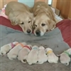 Dogs and puppies Puzzle