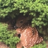 Fawn Puzzle