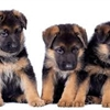 German Shepherd Puppies Puzzle