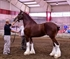 Clydesdale Horse Puzzle