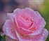 Rose with raindrops Puzzle