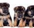German Shepherd Puppies Puzzle