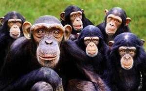 What is a group of apes called?