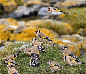 What is a group of finches called?