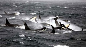 What is a group of porpoises or whales called?