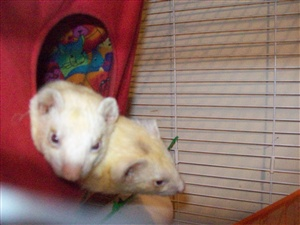 How should ferrets be housed?