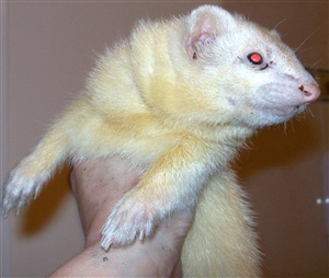 Ferrets can be seen for sale at 8 weeks of age, this is a CRUEL practice. When are the kits weaned and able to leave the care of their mother?