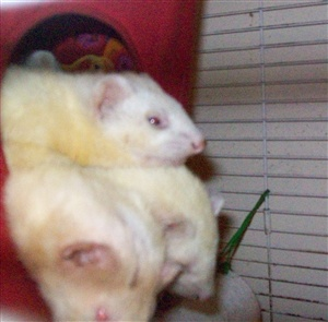 Ferrets are social animals but can you keep just one?