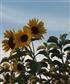 Sunflowers in my garden
