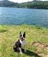 My dog Boston terrier Almost 2 yrs
