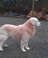 This is my then 13 years old Golden Retriever I like this race very much but only one again if it suites to our life