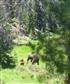 Moose and Calf RMNP