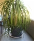 Isn't she beautiful...ponytail palm and she's mine