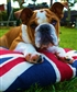 My British Bull Dog