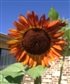 My sunflower plant