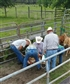 Old school cow work