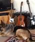 Guitar guard dog.