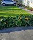 This years dwarf sunflowers blooming My flower garden to the right and down the side
