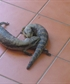 Two blue tongue lizards squabbling on the front porch