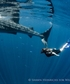 Unbelievable experience snorkling with whale sharks on a voluntary work conservation project on Mafia in the Indian Ocean